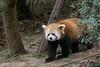 Red panda on the move, Panda Research Base, Chengdu, China