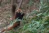 Red panda grabbing a stalk of bamboo, Panda Research Base, Chengdu, China