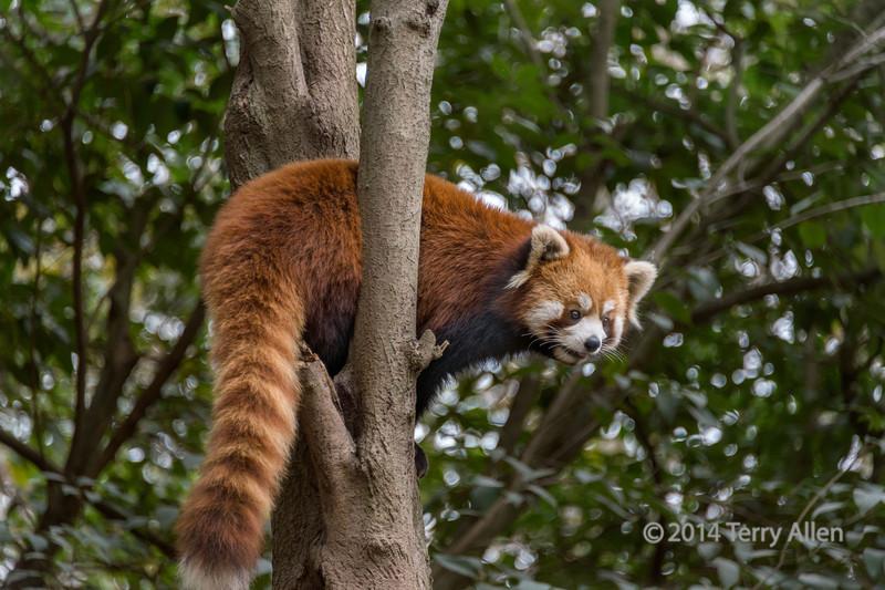 Red-panda-up-a-tree,-Chendu-Giant-Panda-Research-Base,-China