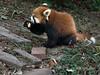 Red panda eatng a piece of apple, Panda Research Base, Chengdu, China
