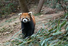 Red panda by a bunch of bamboo,  Panda Research Base, Chengdu, China