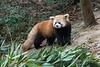 Red panda checking out some bamboo, Panda Research Base, Chengdu, China