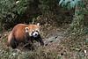 Red panda taking a walk,  Panda Research Base, Chengdu, China