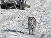 B/W Siberian tiger in the snow, Hengdaohezi Breeding Center, Mujdanjiang, China,