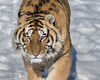 Siberian tiger with ice on its chin from the cold, Hengdaohezi Breeding Center, Mudanjiang, China