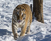 Siberian tiger on the move in the snow and extreme cold, Hengdaohezi Breeding Center, Mudanjiang, China