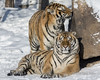 Pair of Siberian tigers sunning by a rock