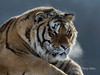 Siberian tiger letting off steam in frigid weather