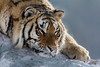 Siberian tiger resting with its chin on the snow, Hengdaohezi Breeding Center, Mujdanjiang, China,