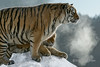 Altert Siberian tigers with steam from their breath, Hengdaohezi Breeding Center, Mujdanjiang, China,