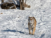 Tiger with a long shadow moving across the snow<br /> <br /> Mudanjiang area, Heilongjiang, China