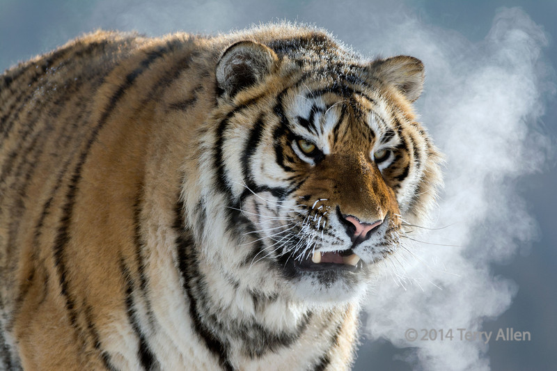 Tiger in the extreme cold