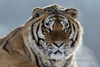 Portrait of a Siberian tiger in the frigid cold, Hengdaohezi Breeding Center, Mujdanjing, China,