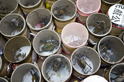 Grasshoppers rattling in their cups in Shanghai, China