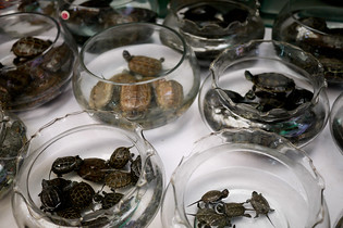 Frogs and turtles in glasses