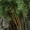 Bamboo in Yu Garden