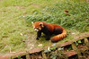 The also endangered red panda