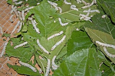 silk worms eating mulberry leaves, China