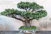 Bonsai-fig-tree,-Zhu-Family-Garden,-Jianshui-Ancient-Town,-Yunnan-Province,-China
