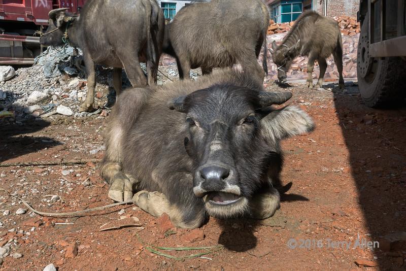 Chinese-cattle-(Bos-taurus)-at-the-Shengcun-Market,-Yunnan-Province,-China