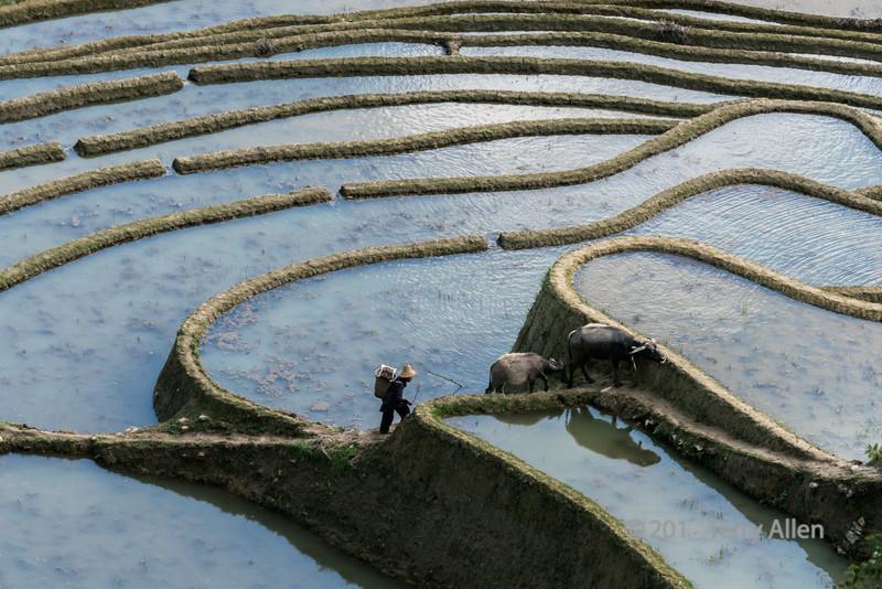 Water-buffalo-and-calf-walking-up-the-rice-terrace-dyke,-Laohuzui,-Yunnan-Province,-China