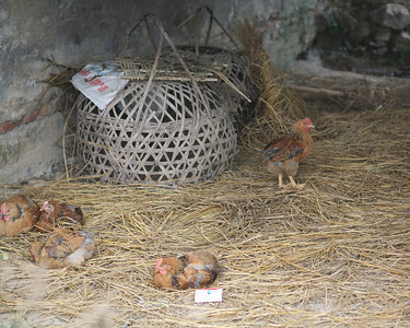Chickens, Yang Shuo, China