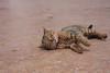 布达拉宫猫
