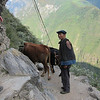 Herding cows on the mountain.