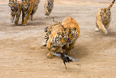 Tigers at Heilongjiang, China
