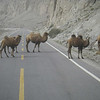 Another highlight of a trip to Kashgar is a day-long trip to Lake Karakul at 11,000 feet in the Pamir range between China and Pakistan.  Where else do you have to stop for camels crossing the road?