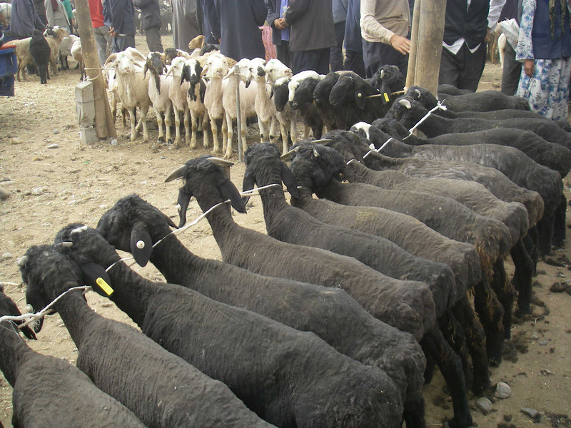 Or buy a fully shorn sheep.