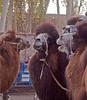 Camel market in Kashgar