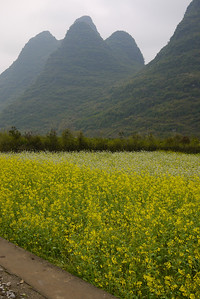 Flowing fields of flowers and limestone rocks outside of Yangshuo, China.