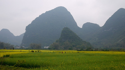 Pretty fields of planted flowers offset the tall Karst rocks jutting up from the flat land around Yangshuo, China.