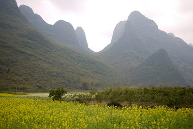 The rolling fields of yellow flowers in spring in rural China.