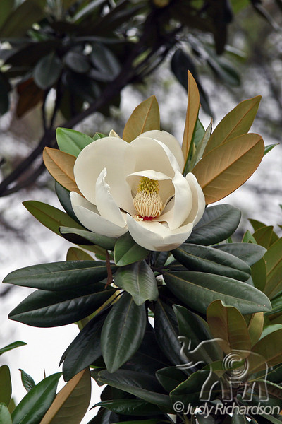 Magnolia Blossom on grounds of Yue Yang Tower