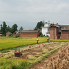 Rice harvesting outside Weishan