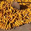 Corn harvest season