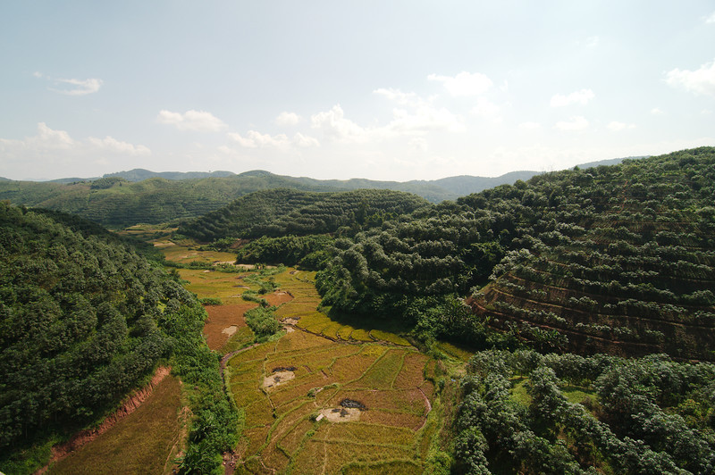 Rows of rubber trees cover a lot of the hills of Southern Yunnan