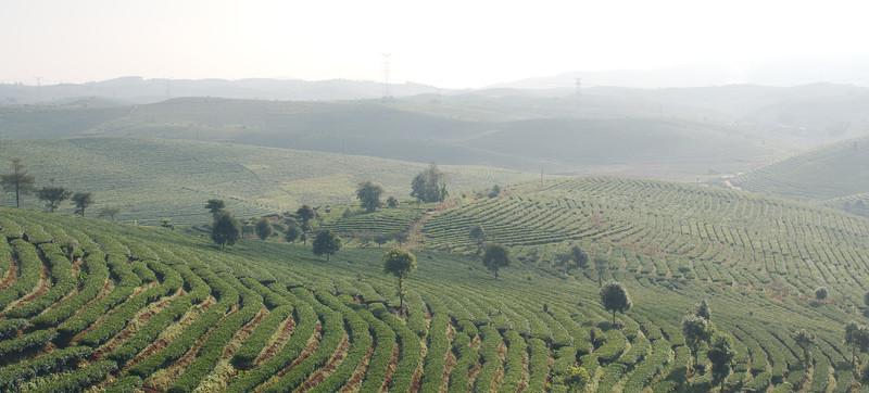 The tea plantations around Dadugang