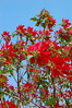 Poinsettas blowing in the wind at Wen Miao