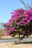 A beautiful flower tree living in the arid climate.