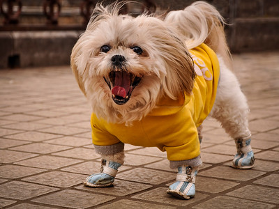 Dog laughing in Kunming China