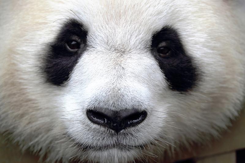 Chéngdū Research Base of Giant Panda Breeding, Chéngdū, Sìchuān Shěng, China