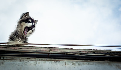 A Husky dog barking at passers by, Dali, China
