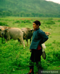 Chinese woman guarding cattle  in China