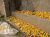 Everywhere, more corn drying for pigs and cornmeal.