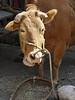 Mooncake lady's steer.