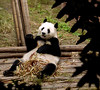 D'ya think that this guy is content with his bamboo?