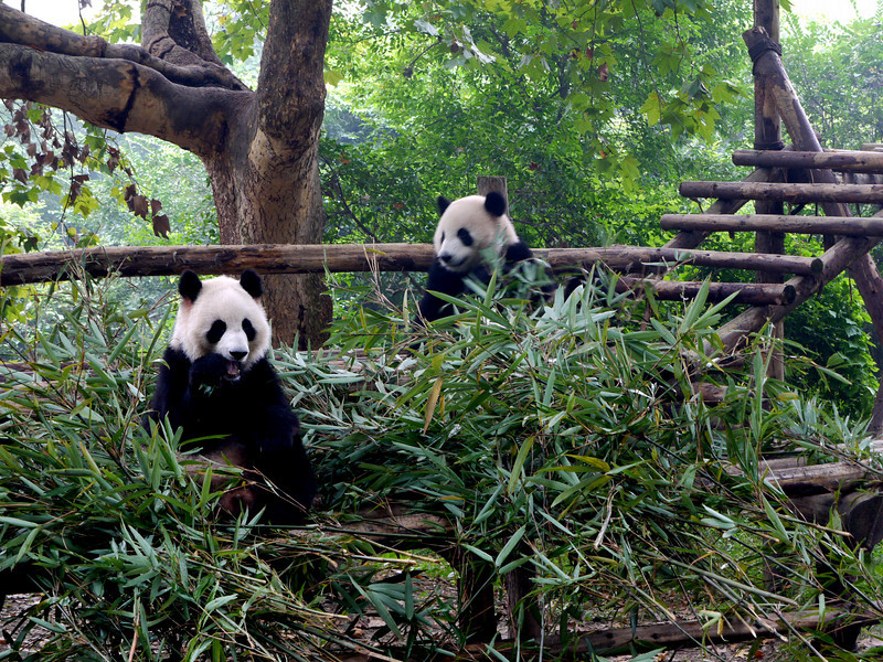 They seem to either sleep, wrestle, or munch on bamboo.